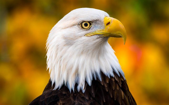 thumb2-bald-eagle-bird-of-prey-beautiful-birds-american-symbol-eagles.jpg