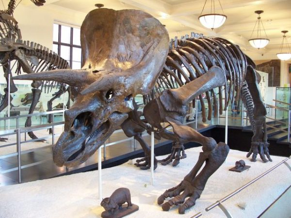 Jurassic döneminde yaşamış ve meteor çarpması sonrası nesli tükenmiş bir Triceratops'un modeli.